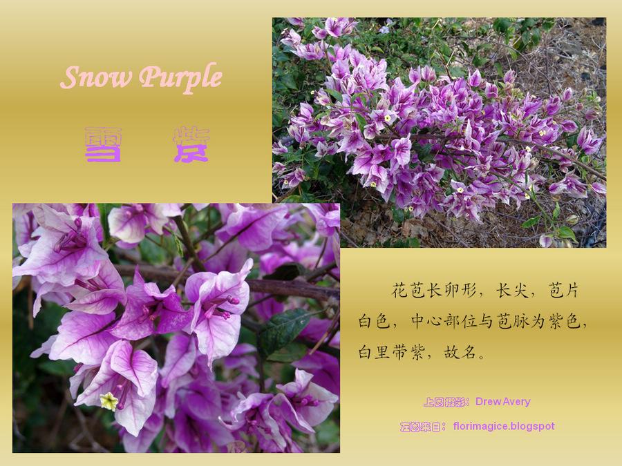 三角梅的欣赏与家庭种植 (115).jpg