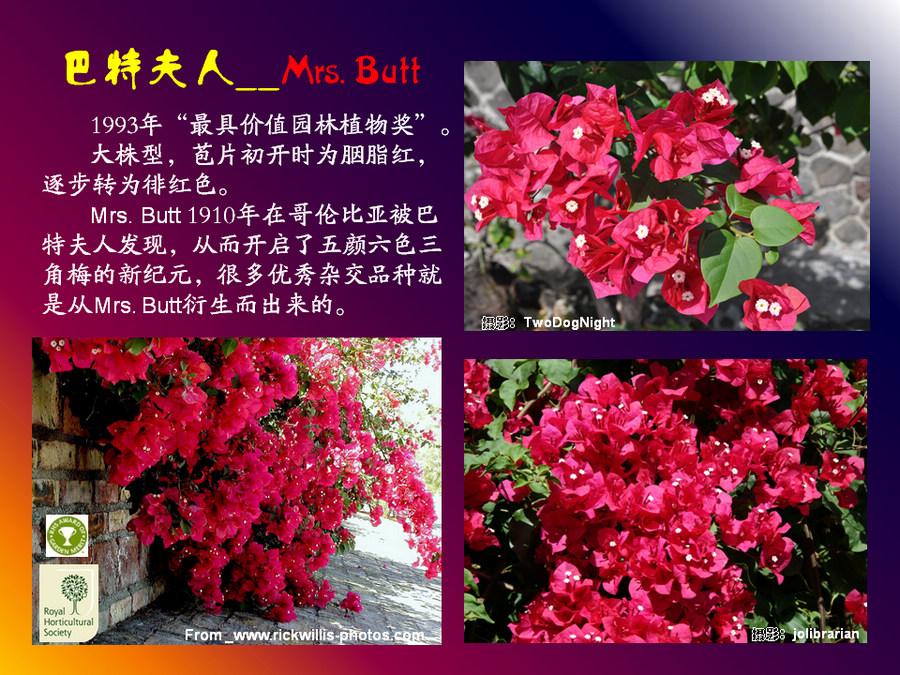 三角梅的欣赏与家庭种植 (123).jpg