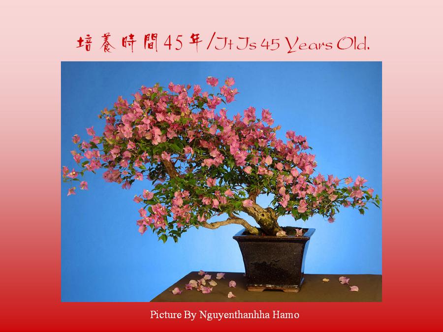 三角梅的欣赏与家庭种植 (136).jpg