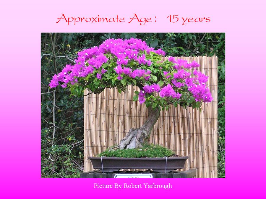 三角梅的欣赏与家庭种植 (144).jpg