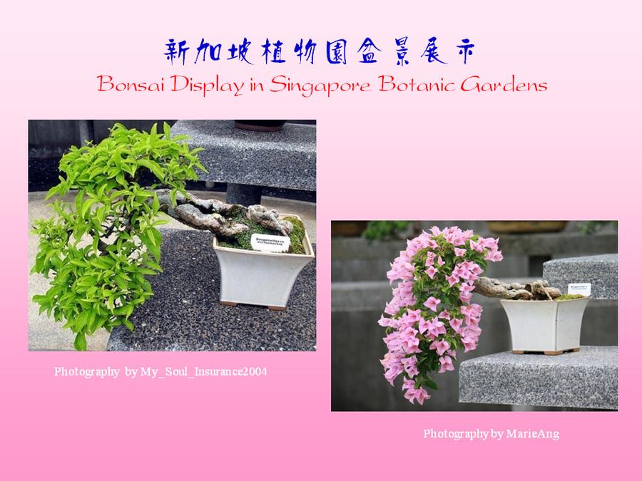 三角梅的欣赏与家庭种植 (145).jpg