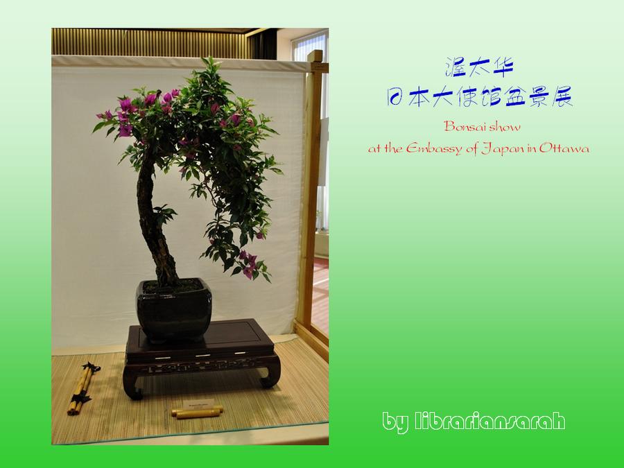 三角梅的欣赏与家庭种植 (146).jpg