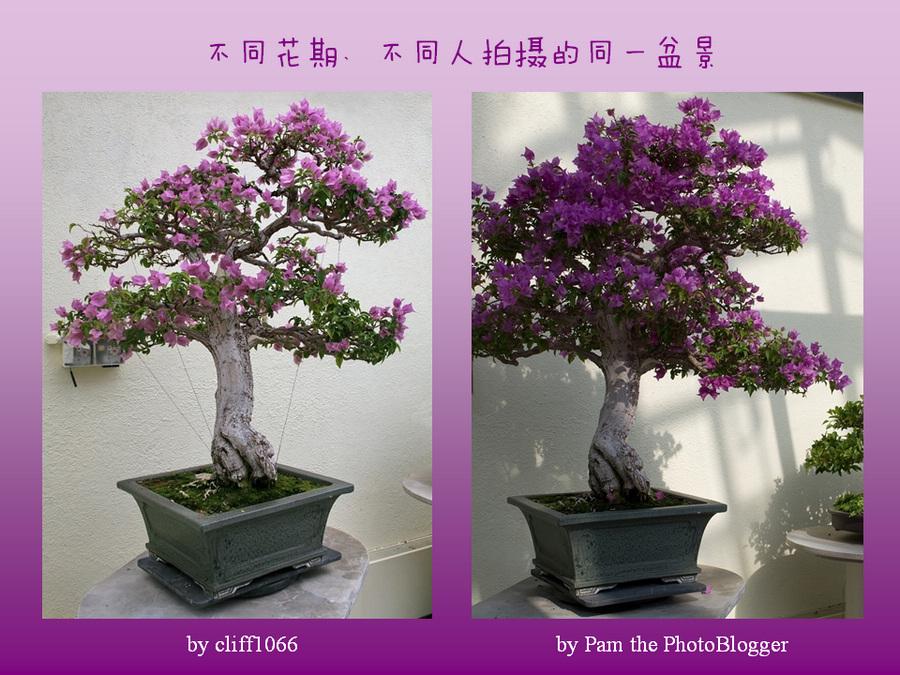 三角梅的欣赏与家庭种植 (152).jpg