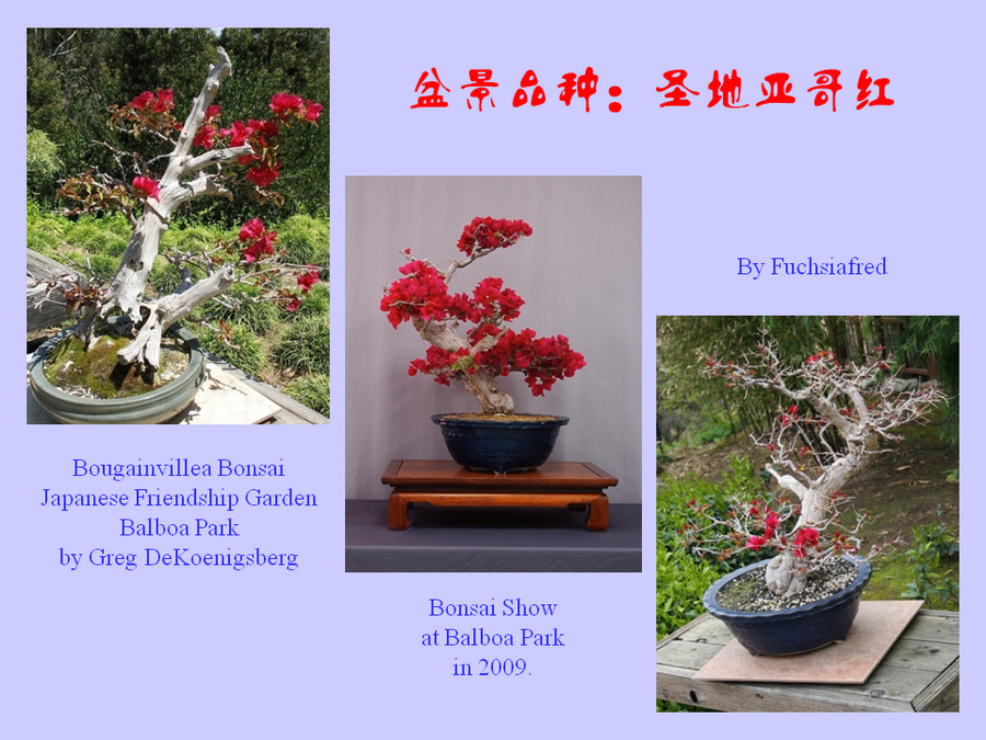 三角梅的欣赏与家庭种植 (155).jpg