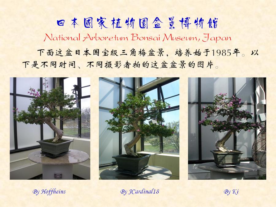 三角梅的欣赏与家庭种植 (158).jpg