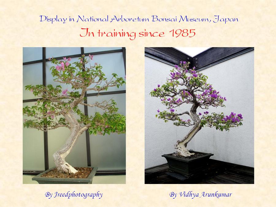 三角梅的欣赏与家庭种植 (159).jpg