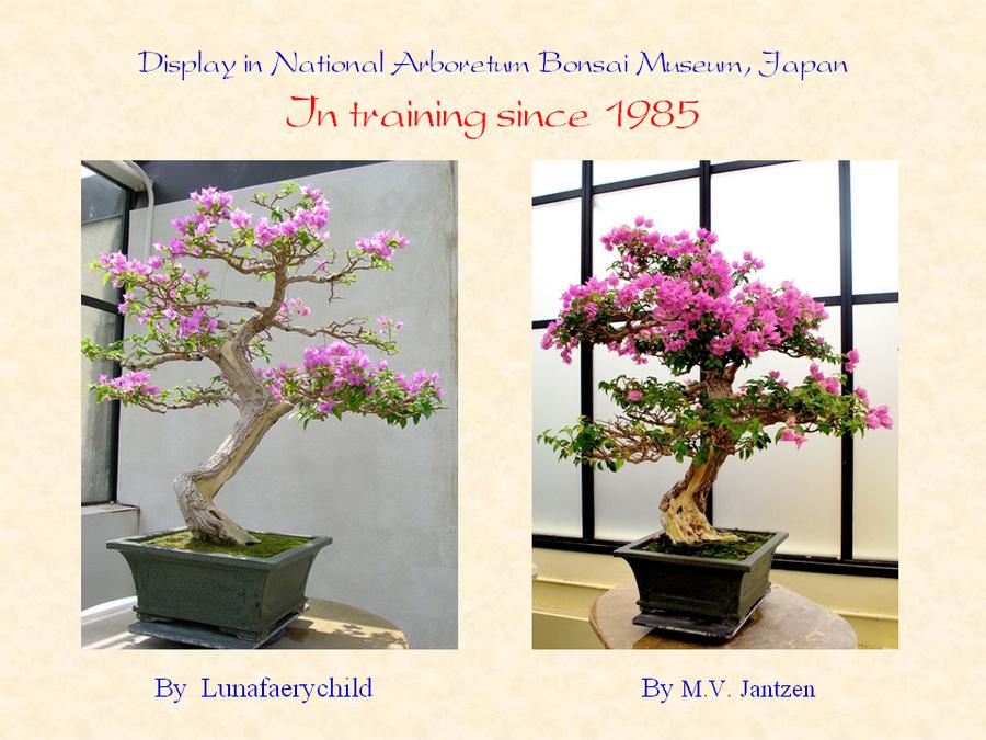 三角梅的欣赏与家庭种植 (160).jpg