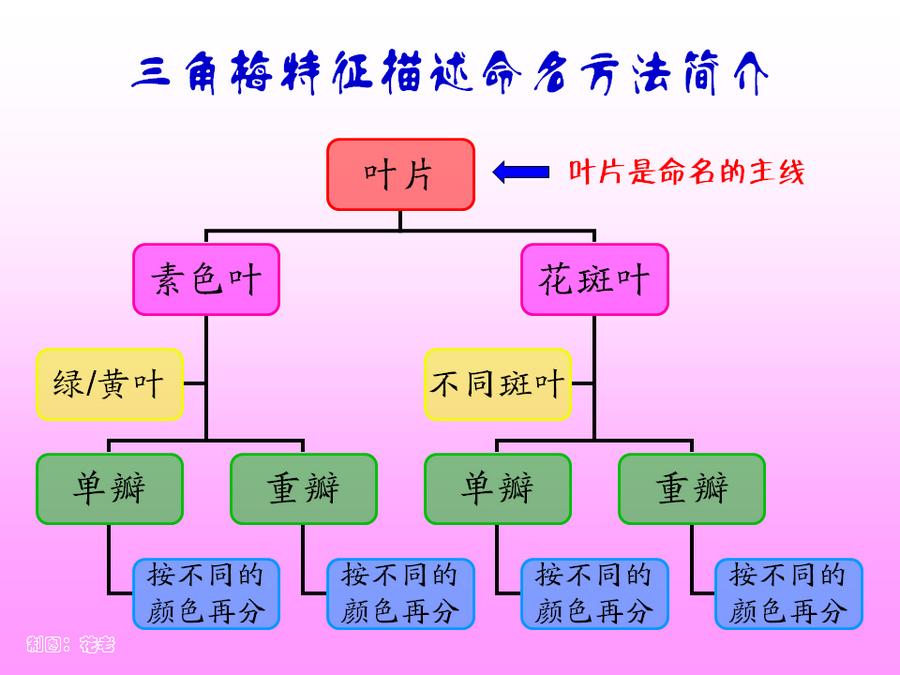 三角梅的欣赏与家庭种植 (15).jpg