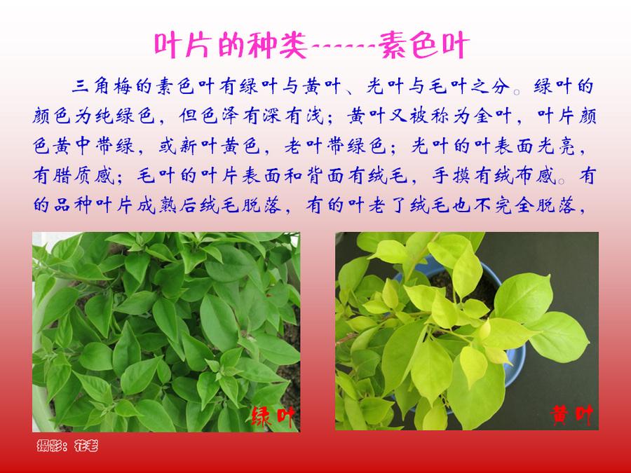 三角梅的欣赏与家庭种植 (16).jpg