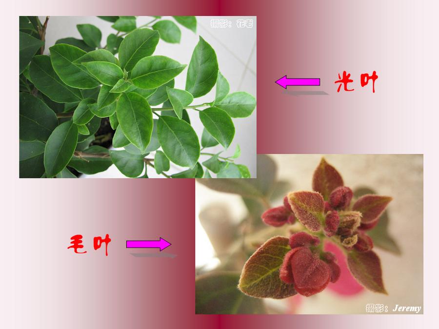 三角梅的欣赏与家庭种植 (17).jpg