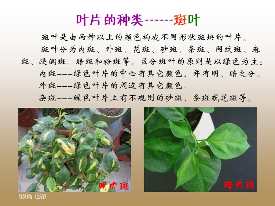 三角梅的欣赏与家庭种植 (18).jpg