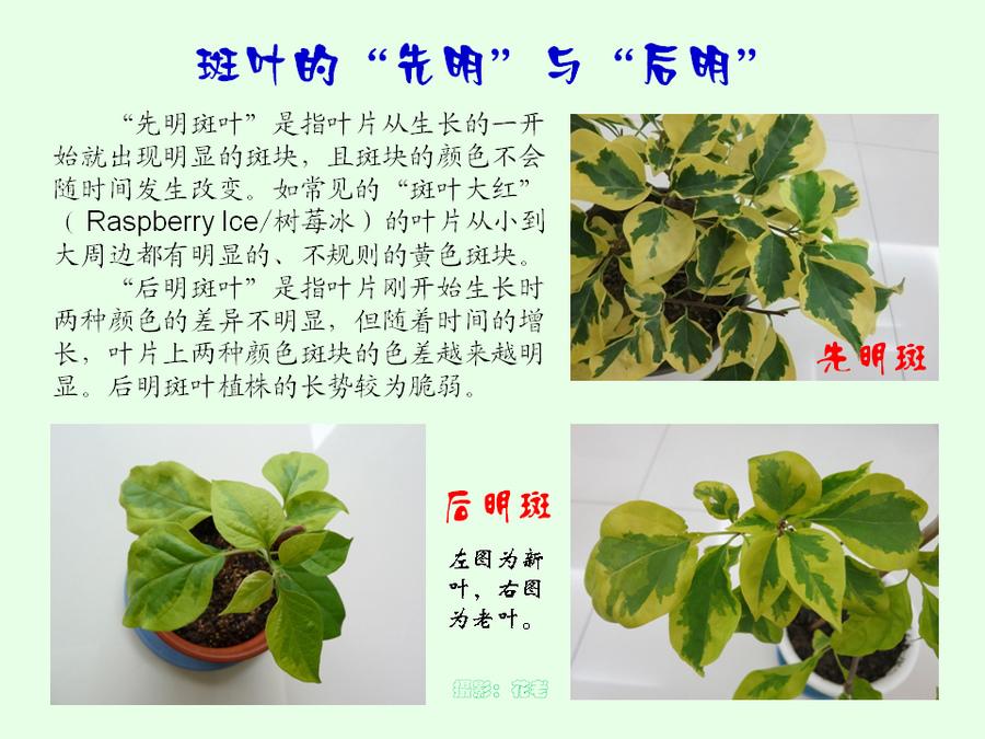 三角梅的欣赏与家庭种植 (21).jpg