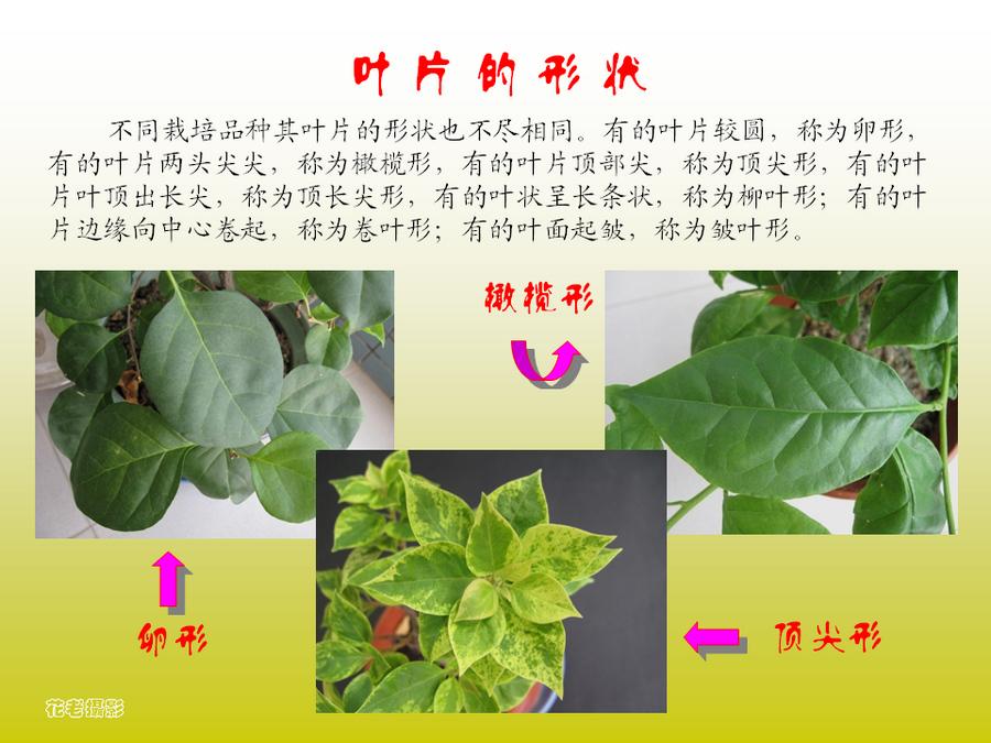 三角梅的欣赏与家庭种植 (22).jpg