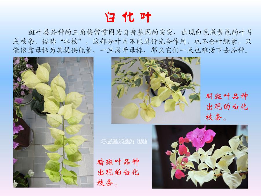 三角梅的欣赏与家庭种植 (24).jpg