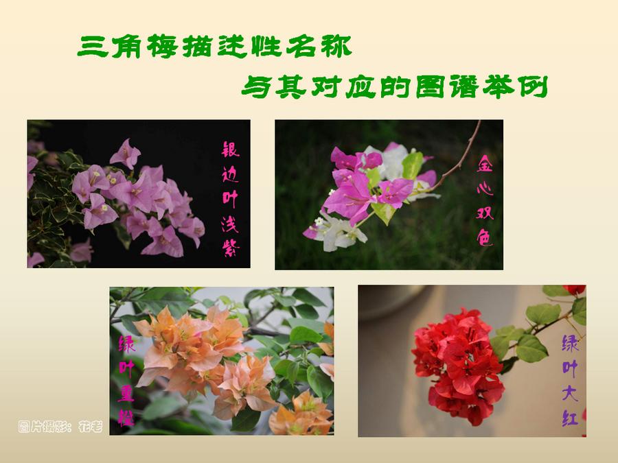 三角梅的欣赏与家庭种植 (25).jpg