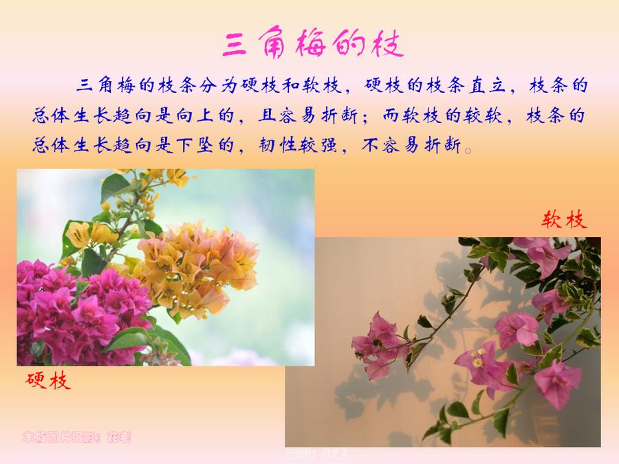 三角梅的欣赏与家庭种植 (27).jpg