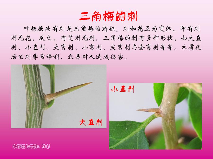 三角梅的欣赏与家庭种植 (28).jpg