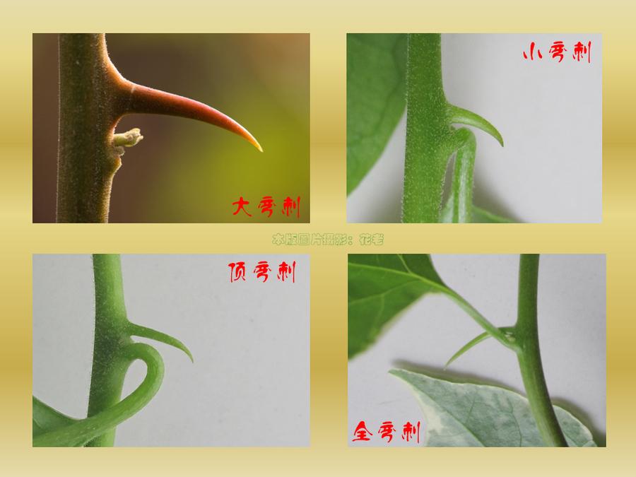 三角梅的欣赏与家庭种植 (29).jpg