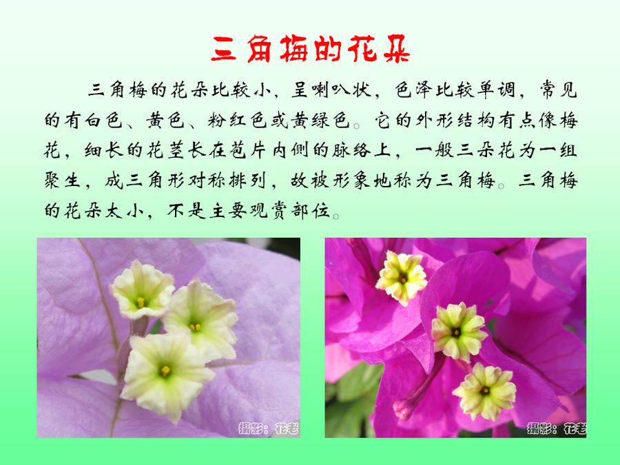 三角梅的欣赏与家庭种植 (30).jpg