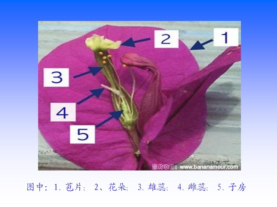 三角梅的欣赏与家庭种植 (32).jpg
