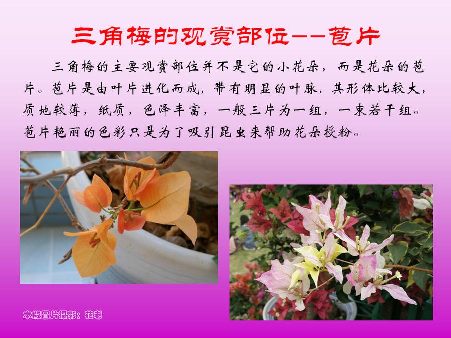 三角梅的欣赏与家庭种植 (33).jpg