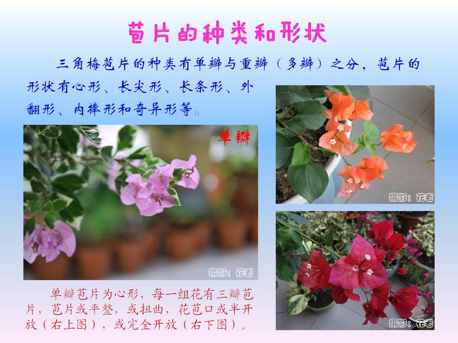 三角梅的欣赏与家庭种植 (34).jpg
