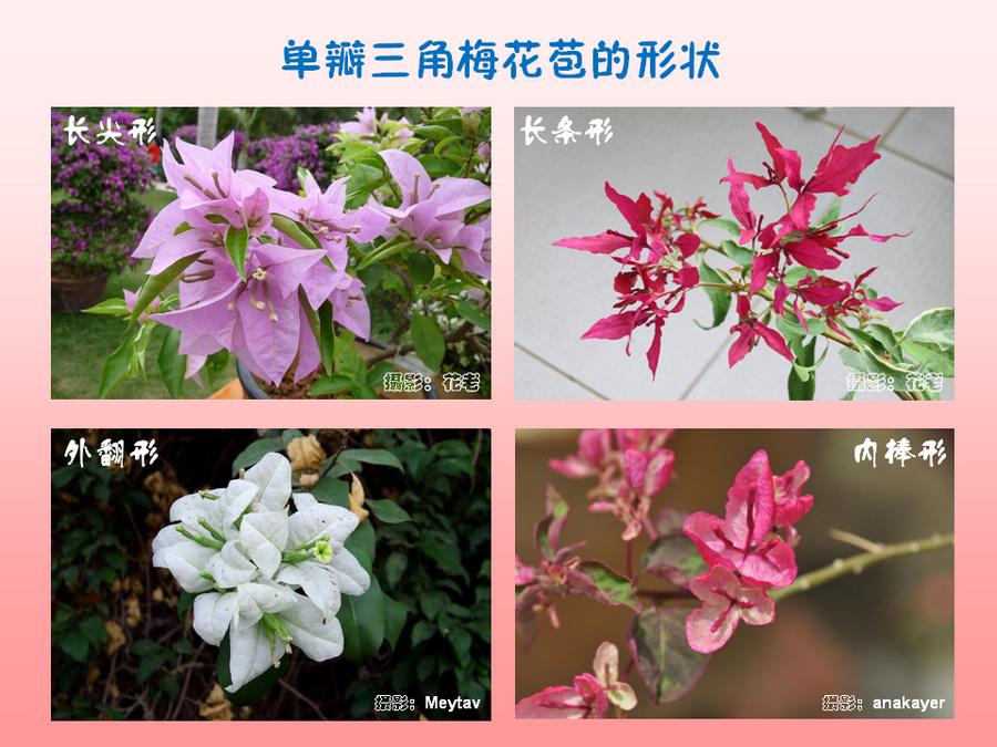 三角梅的欣赏与家庭种植 (36).jpg