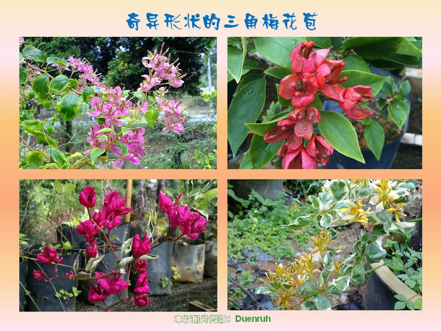 三角梅的欣赏与家庭种植 (37).jpg