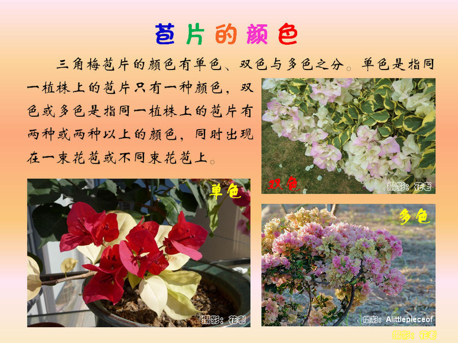 三角梅的欣赏与家庭种植 (38).jpg