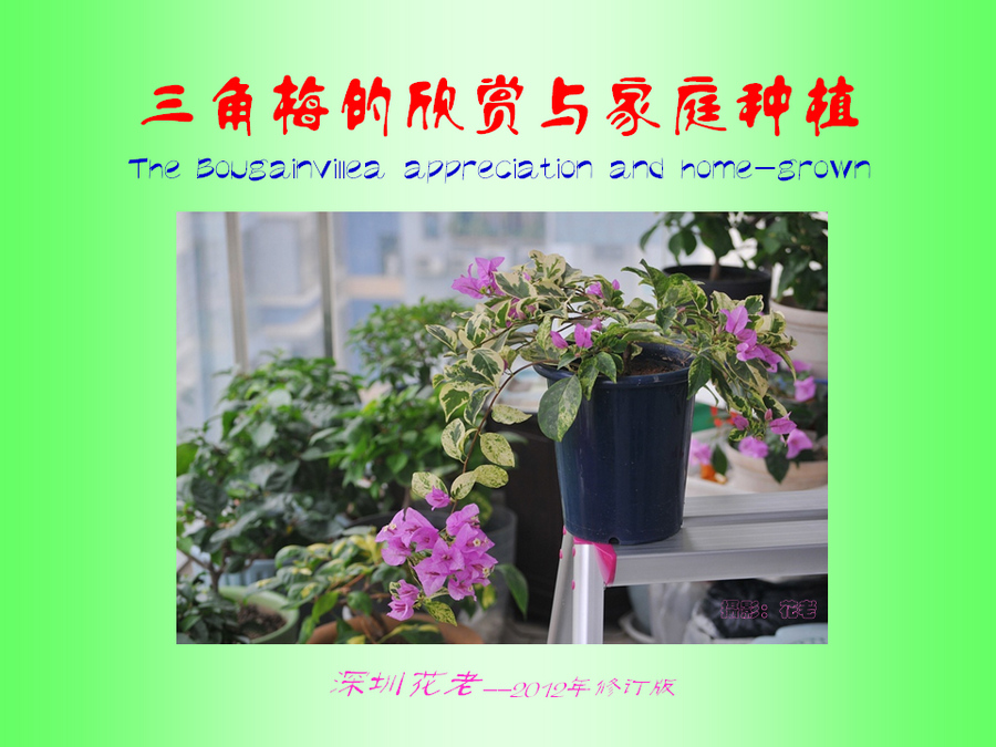 三角梅的欣赏与家庭种植 (1).jpg
