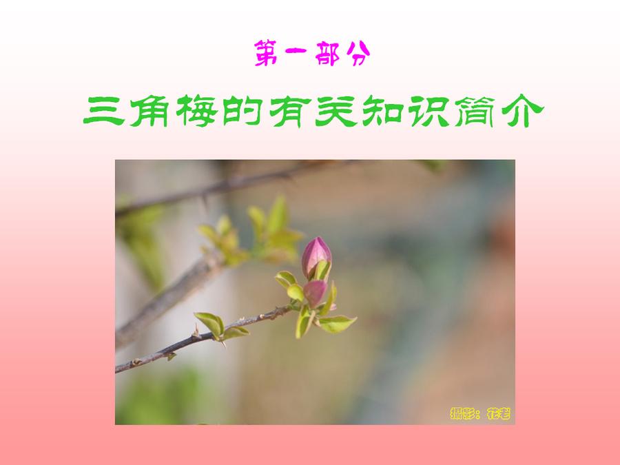 三角梅的欣赏与家庭种植 (2).jpg