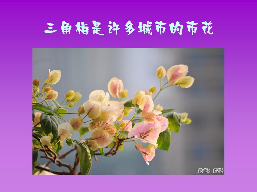 三角梅的欣赏与家庭种植 (4).jpg
