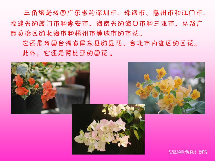 三角梅的欣赏与家庭种植 (5).jpg