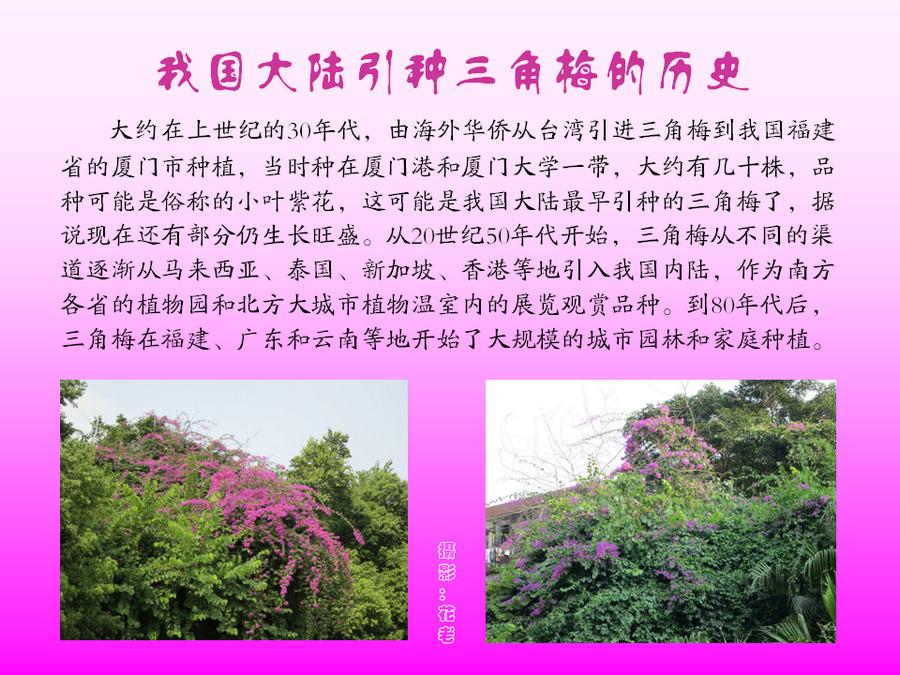 三角梅的欣赏与家庭种植 (9).jpg