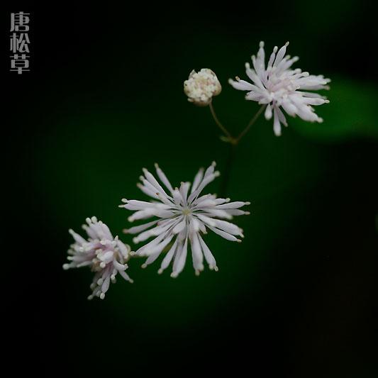 唐松草.jpg