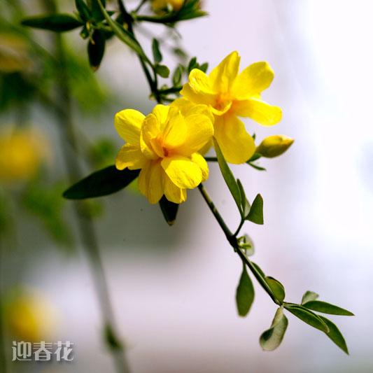 迎春花.jpg