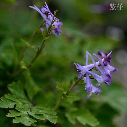 紫堇.jpg