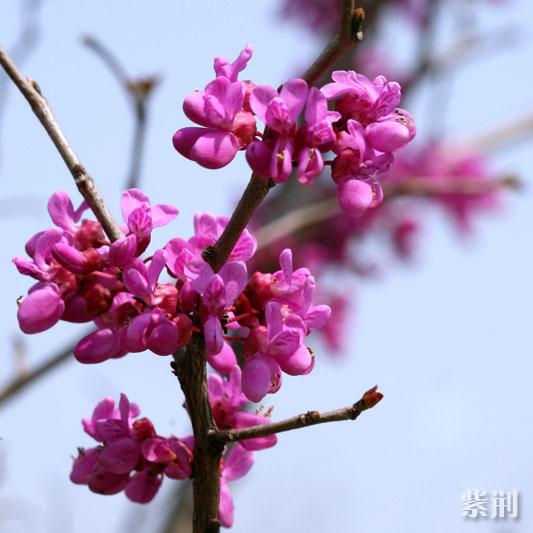 紫荆.jpg