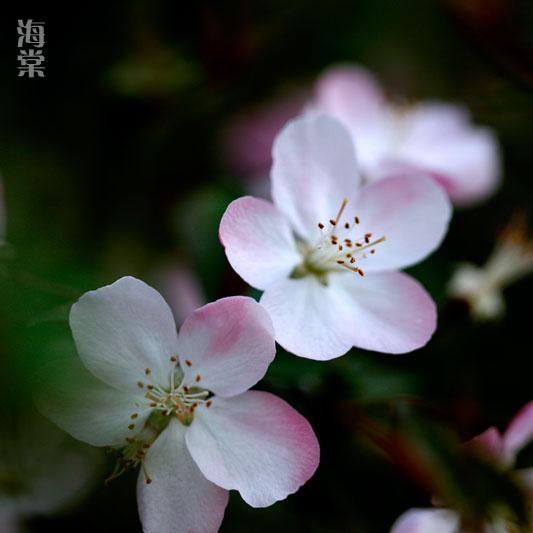 海棠.jpg