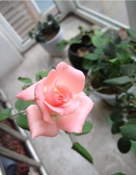 第三茬,剪枝过后开的,不知道为什么很小的花朵