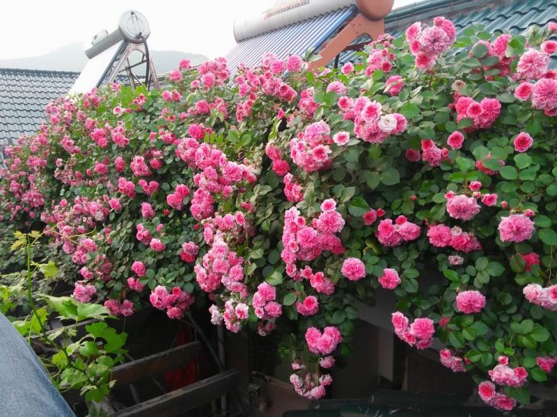 今年楼顶的花槽里的花