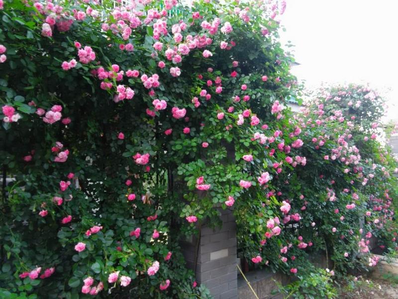 院墙外的花