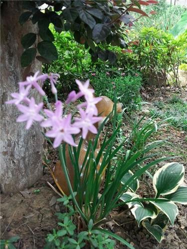 紫娇花.jpg