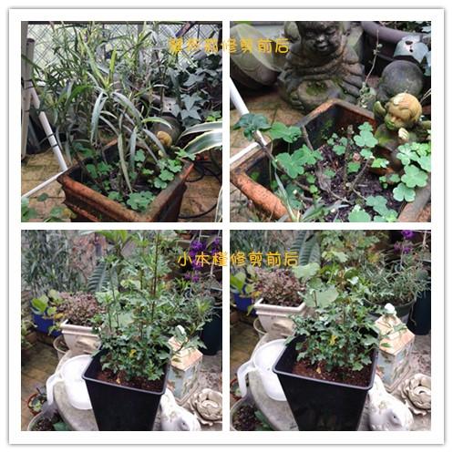 草本植物修剪