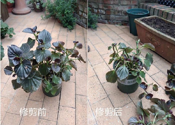 四季海棠的修剪