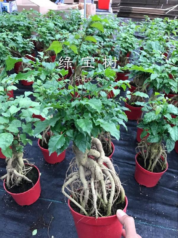 幸福树 绿宝 提根小盆栽 室内植物-木本植物-藏花阁