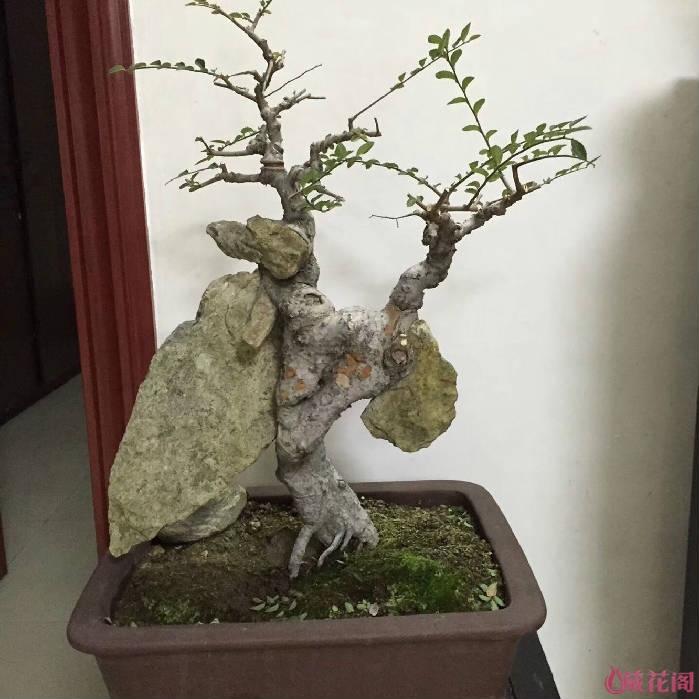 [美图秀] 一组抱石榆树盆景------25阿40庆4029---泉州