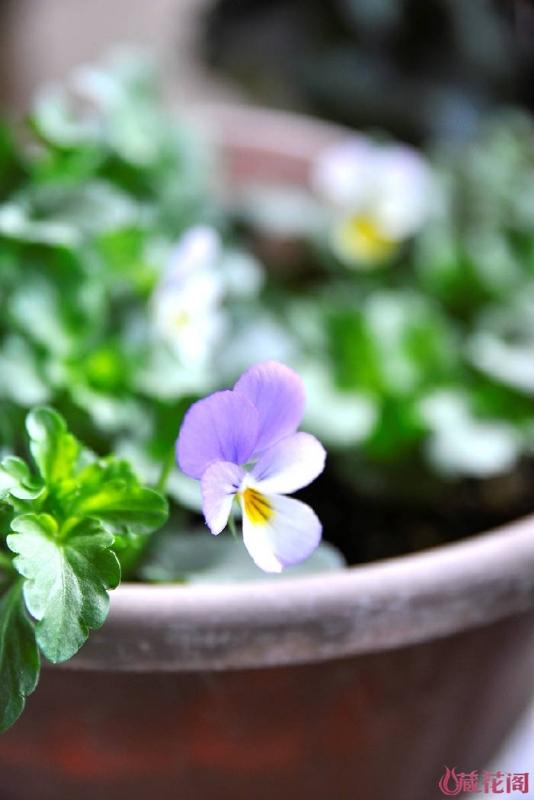 会变色的角堇,开出来淡淡的黄色,然后变成淡紫