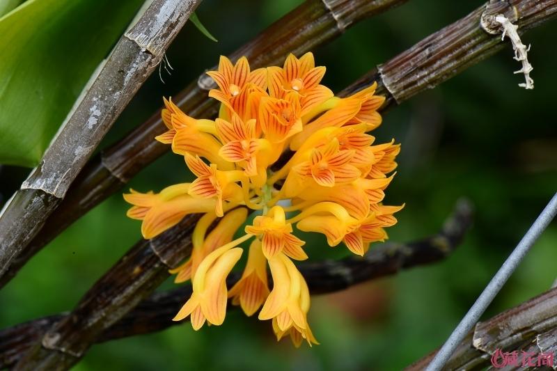 5-5-1-bullenianum 黃玉石斛.jpg
