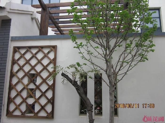 墙外花格下是大理石板,准备撬掉换土,栽黄木香